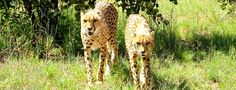 Are Captive Bred Cheetahs a Viable Conservation Option? Sylia continues her quest to understand what's happening to her favorite species.