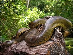 The green anaconda (Eunectes murinus)is the heaviest snake and one of the world's biggest snakes Anaconda Verde, Anaconda Snake, Green Anaconda, Les Reptiles, Reptiles And Amphibians, World Biggest Snake, Eunectes Murinus, Amazon Rainforest Animals, Rainforest Pictures