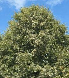 Hoheria angustifolia - narrrow-leaved lacebark