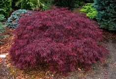 Weeping Japanese Maple - Acer palmatum dissectum 'Red Dragon'