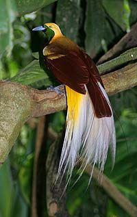 paradisvogel | Kleiner Paradiesvogel ( Paradisaea minor )