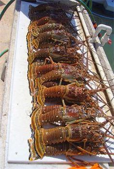 Lobstering in Marathon Florida with Angler Management Charters.... yummy limits of Lobsters