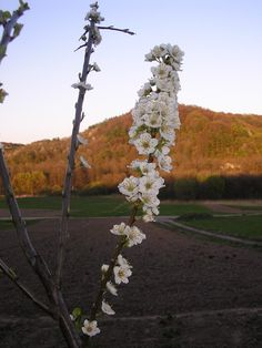 Cherry blossoms in the grandmother garden!