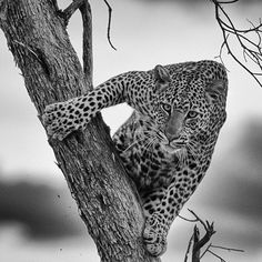 .  Photography by © (Michelle d).  This Leopard was sitting uncomfortably in a tree. there was a lion holding him hostage. #wildlife #wild #portrait #leopard #cat #masai_mara #nature