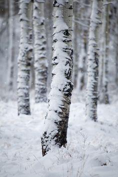 Gaia's Winter Garden: First Snow by Carl Lindbloom on I Love Snow, I Love Winter, Winter Day, Winter Is Coming, Winter Snow, Winter White, Winter Christmas, Nordic Christmas, Winter Season