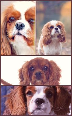 """The Cavalier King Charles Spaniel is little, loving and lively. The typical Cavalier is always happy, trusting and easygoing, a pal to everyone he meets. Real to their heritage as """"comforter pet dogs,"""" Cavaliers enjoy to be in a lap. Training Your Puppy By Incorporating Key Tips Your pet can be considered a member of your loved ones. Much in the same way that you simply would train and correct your kids, you should do that for your personal dog also. How could you expect these to beh"""