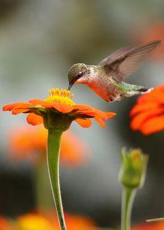 Hummingbird - Gorgeous Photo