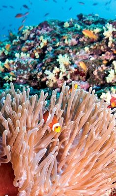 Anemone and fish on the reef - Andaman Islands.