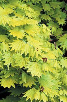Acer shirasawanum 'Aureum' - kultahondonvaahtera