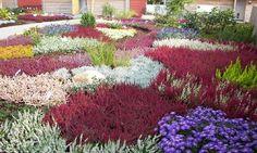 Vřesoviště vplném květu | Magazín zahrada