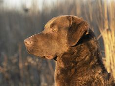 Chesapeake Bay Retriever ~ Classic Look All Dogs, Dogs And Puppies, Doggies, Chesapeake Bay Retriever Puppy, Brown Dog, Big Brown, Your Spirit Animal, Tier Fotos, Retriever Dog