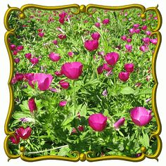 Direct Sowing Instructions for Callirhoe involucrata (Purple Poppy Mallow) Wildflower Seed
