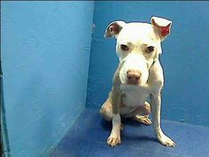 SAFE --- URGENT - Brooklyn Center   PRINCESS - A0986409   FEMALE, WHITE / TAN, PIT BULL MIX, 6 mos  STRAY - STRAY WAIT, NO HOLD Reason STRAY  Intake condition NONE Intake Date 12/02/2013, From NY 11233, DueOut Date 12/05/2013 https://www.facebook.com/#!/photo.php?fbid=718735888139293&set=pb.152876678058553.-2207520000.1386154455.&type=3&theater