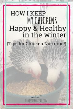 Awesome tips about feeding your chickens over the winter for a happy, healthy flock!