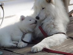 Samoyeds Baby Dogs, Doggies, Pet Dogs, Dogs And Puppies, Beautiful Dog Breeds, Beautiful Dogs, Animals Beautiful, Husky Pet, Samoyed Dogs