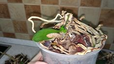 После омоложения орхидеи или если мама орхидея, по какой-то причине, погибла, а в горшке остались пенёк и корни, из пенька можно дождаться детку. Детка питается корнями пенька, пока не нарастит  свои корни. Поливать и подкармливать пенёк можно так же, как если бы это была нормальная орхидея с листьями. Когда детки орхидеи подрастут и пустят свои корешки в колличестве 3-5шт длинной 5-7см, можно начинать отделять детку, она уже сможет самостоятельно расти. Страничка в Instagram🌼…