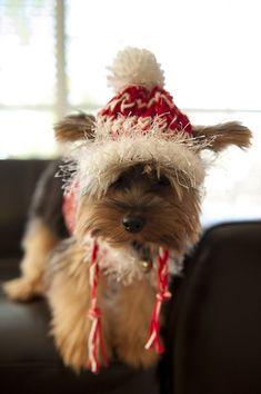 Yorkist in winter hat