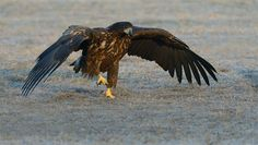 """A Walk On The Prairie - Except for flying around and making each others life miserable more than once, these juvenile White-tailed Eagles also take a walk in the park sometimes :-)  Shot taken near Kutno in mid Poland.  A big thanks to Marcin Nawrocki <a href=""""http://www.polandwildlife.com"""">Poland Wildlife</a> and his cousin Alexander for the great time I've had.  ©<a href=""""http://www.hewaph.com"""">Harry Eggens</a>  Best wishes,  Harry"""