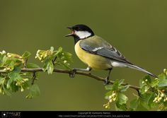 Chapim Real (Parus major)