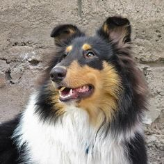 Collie Dogs| Collie Dog Breed Info & Pictures | petMD
