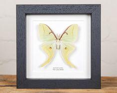 Argema mittrei male framed comet moth Madagascar | Etsy Giant Moth, Large Moth, Habitat Destruction, Third World Countries, White Box Frame, Frame Sizes, Box Frames, Taxidermy, Black Wood
