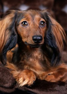 Dachshund – Friendly and Curious Dachshund Funny, Dachshund Puppies, Weenie Dogs, Dachshund Love, Cute Puppies, Dogs And Puppies, Hound Puppies, Pets, Pet Dogs