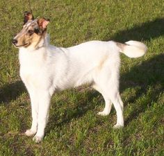 Beautiful smooth white collie with blue merle head