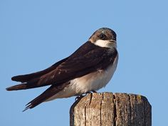 Adult female Tree Swallow