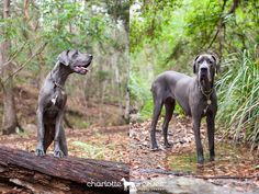 Client Session ~ Hugo the Great Dane & Henry the Jack Russell X in Brisbane City