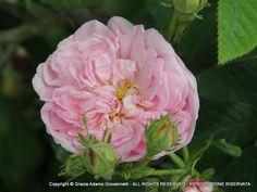 """Agatha Incarnata"" old Gallica rose, pre-1800    www.cadellerose.org"