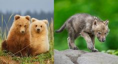 Breaking News: The U.S. Senate just voted 52-47: Measure also allows aerial spotting and killing of grizzly bears on national wildlife refug...