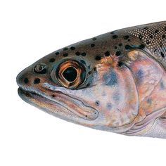 Goose Lake Redband Trout. Illustrated and © by Joseph R. Tomelleri.
