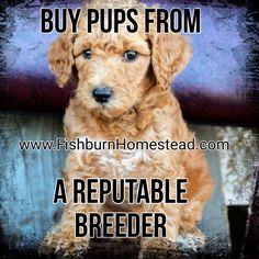 """Figure out even more information on """"poodle puppies"""". Browse through our internet site. Giant Schnauzer, Left Alone, Puppies For Sale, Best Dogs, Dog Food Recipes, Poodle Puppies, Reading, Red Chocolate, Internet"""