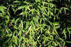 umbrella bamboo