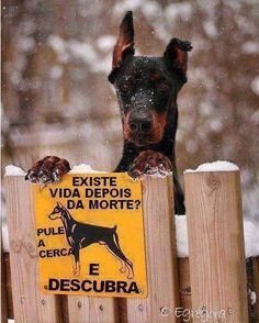 The Doberman Pinscher is among the most popular breed of dogs in the world. Known for its intelligence and loyalty, the Pinscher is both a police- favorite Love My Dog, Doberman Pinscher, Funny Animals, Cute Animals, Doberman Love, Doberman Funny, Life After Death, Tier Fotos, Funny Signs