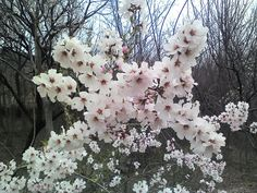 HOW TO GROW AN APRICOT TREE