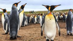 King penguins unfazed by their visitors, Volunteer Point (credit: Jean-Philippe Angers).