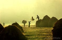 Rice Harvest at Pampore by Ami Vitale. #Kashmir