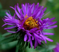 asters | ... prior photo, New England asters are native to the northeastern U.S