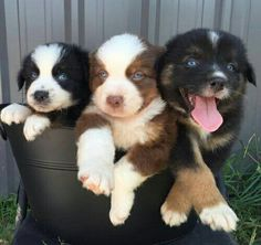 In search of a Red Tri female Australian Shepherd, BET carrier with Champion bloodlines. We adore the Aussies and love to get a beautiful puppy that we'll cherish for the rest of it's life. If you have an up coming litter in 2017, please contact me at muzartzjm@yahoo.com Would love to hear from you!