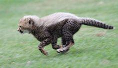 Sheeba started hunting early, pursuing various birds and rabbits.