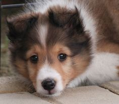 Meet: Pip the Pup Breed: Sheltie Sheep Dog Puppy, Sheep Dogs, Baby Animals, Cute Animals, Dog Photo Contest, Shetland Sheepdog Puppies, Herding Dogs, Cute Dogs And Puppies, Doggies