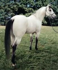 Buttermilk buckskin- freaking wow! I've never seen that sort of reversed color combo before! Beautiful