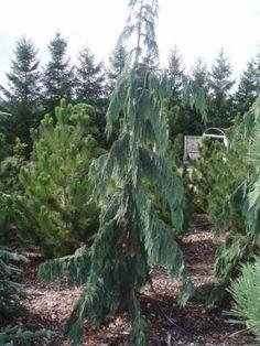 Small Cedar Trees for Landscaping | Cypress 'Weeping Alaskan Cedar' 10-12 ft. tree. (8-9 ft. tree shown)