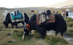 LOS YAKS DEL TIBET     Yak, yak, yak - Tibet