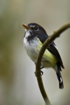 Black-and-white Tody-tyrant (Poecilotriccus capitalis) videos, photos and sound recordings   the Internet Bird Collection   HBW Alive