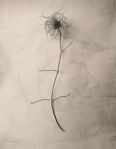 James Pitts  Dried Clematis Blossom, 1995
