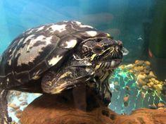 Konna kodissaan! Turtle, Animals, Turtles, Animales, Animaux, Tortoise, Animal, Animais