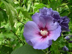 Rose mallow Hibiscus syriacus 'Oiseau Bleu' - just started flowering, always surprised at the colour. :-)