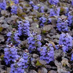 Which Plants to Use as Lawn Alternative : Home Improvement : DIY Network, black scallop bugle weed ,(ajuga reptans 'black scallop' ) Shade Flowers Perennial, Shade Shrubs, Flowers Perennials, Shade Plants, Tall Shrubs, Ground Cover Plants Shade, Shade Annuals, Purple Plants, Colorful Plants